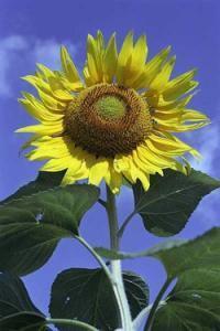 Słonecznik inspiracją dla paneli słonecznych nowej generacji