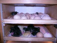 Prosty inkubator do wylęgu piskląt
