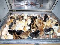 Sterowanie silnikiem DC automatycznego inkubatora do wylęgu jaj