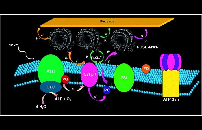 Bezpo�rednie pozyskiwanie energii z fotosyntezy ro�lin